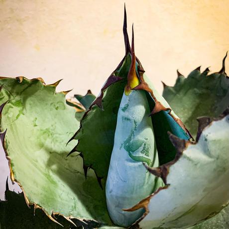 アガベ チタノタ ブラック アンド ブルー㊱ Agave titanota black and blue