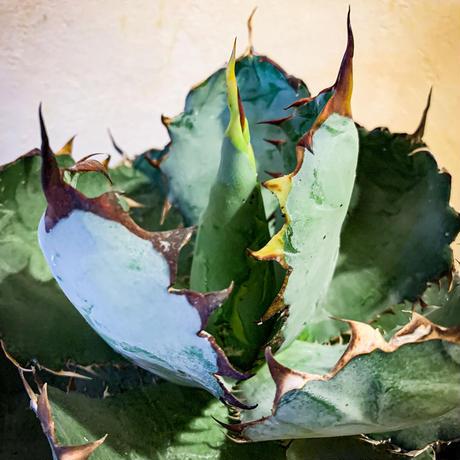 アガベ チタノタ ブラック アンド ブルー㊲ Agave titanota black and blue