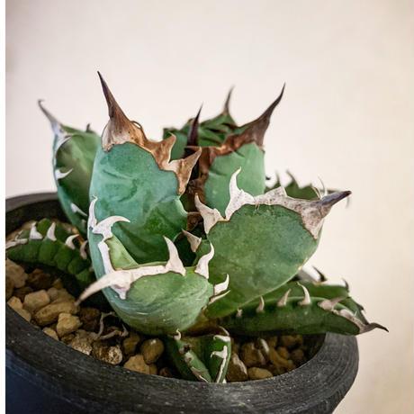 アガベ チタノタ姫巌竜7  Agave titanota hybrid