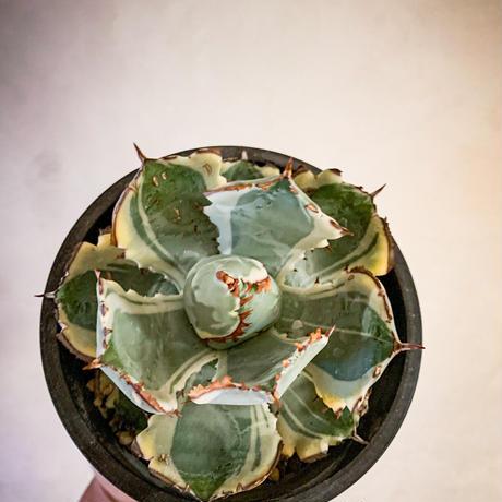 アガベ イシスメンシス 兜蟹錦13 Agave isthmensis 'Kabutogani' variegated