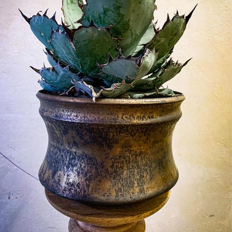 アガベ チタノタ ブラック アンド ブルー㉟ Agave titanota black and blue