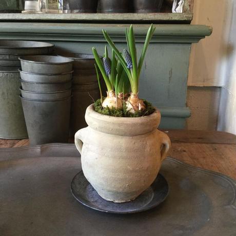 Muscari & Hyacinthus with Tunisia pot(チュニジアポット付きムスカリ&ヒヤシンス)