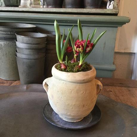"Tulips ""Tête-à-tête""and  Snow drop with Tunisia pot(チュニジアポット付きチューリップ""テタテ&スノードロップ"")"