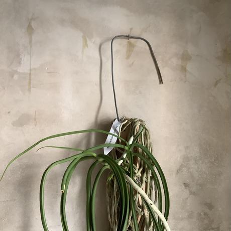 "Saidenfadenia mitrata A ""Straight roots""(サイデンファニア・ミトラタ""ストレート"")"