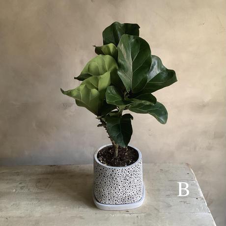 "Ficus lyrata in coralstone pot""19in"" (カシワバゴム・バンビーノ""50cm""コーラルストーンポット)"