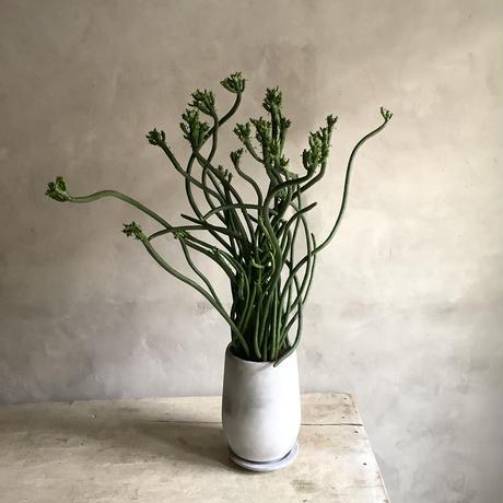 Euphorbia tirucalli {(ユーフォルビア・タイレカーリィ) ミルクブッシュ}