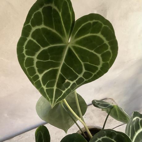 Anthurium clarinervium (アンスリューム・クラリネルビウム)