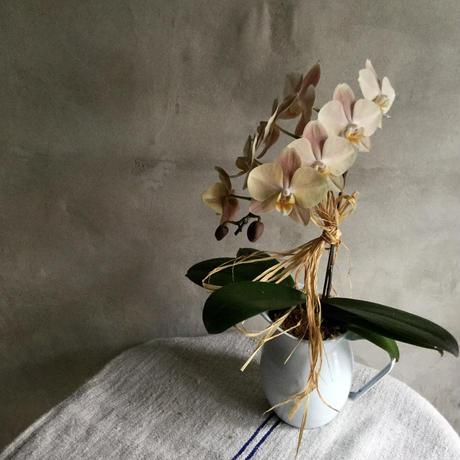 Phaleanopsis mother cheek (胡蝶蘭マザーチーク) 2020最終入荷・数量限定品