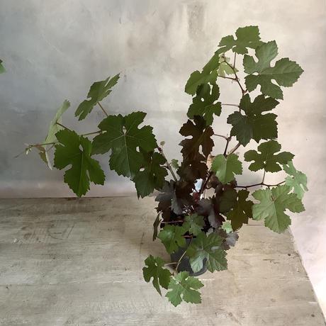 Purpurea purple grape pot (ヨーロッパブドウ・プルプレア)