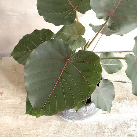 Ficus petiolaris with stone pot (フィカス・ペティオラリス)