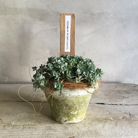 Sedum Sieboldii With Moss Pot(モスポット付き白雪ミセバヤ)