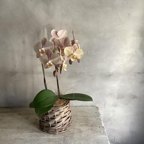 Phaleanopsis mother cheek (胡蝶蘭マザーチーク) 2021母の日ギフト・順次配送 4/31~5/9 着 *追加販売分
