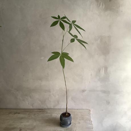 Skinny pachira in moon pot(スキニーパキラムーンポット)