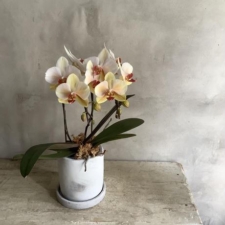 Phaleanopsis olivia (胡蝶蘭オリビア) 2021母の日ギフト・順次配送 4/31~5/9 着 *追加販売分