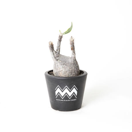 PACHYPODIUM ROSULATUM VAR. GRACILIUS NO.1 (S) + BLUEY POT / BPP-0009