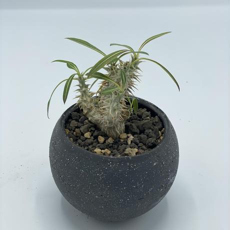 PACHYPODIUM GRACILIUS × IONIA BOWL /  BPP-0156+BPA-0045