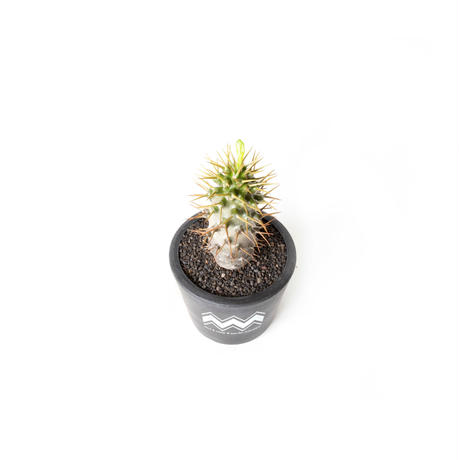PACHYPODIUM AMBONGENSE NO.2 (M) + BLUEY POT / BPP-0007