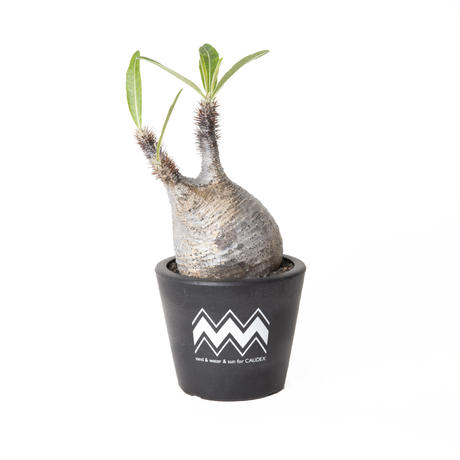 PACHYPODIUM ROSULATUM VAR. GRACILIUS NO.2 (S) + BLUEY POT / BPP-0010