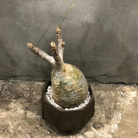 PACHYPODIUM ROSULATUM VAR. GRACILIUS×SURFACE POT / BPP-0053