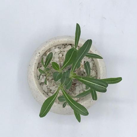PACHYPODIUM GRACILIUS × IONIA BOWL  / BPP-0157+BPA-0045