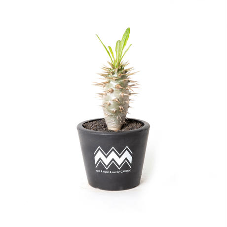 PACHYPODIUM AMBONGENSE NO.1 (S) + BLUEY POT / BPP-0008