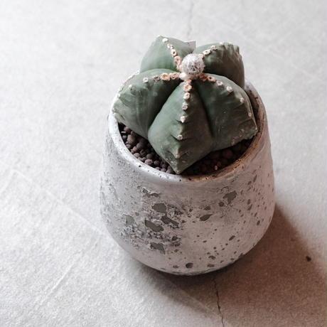 碧瑠璃鸞鳳玉 Astrophytum myriostigma var nudum