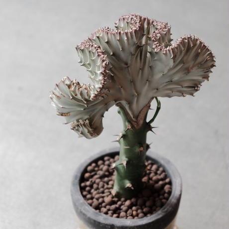 ユーフォルビア  ラクティア Euphorbia lactea