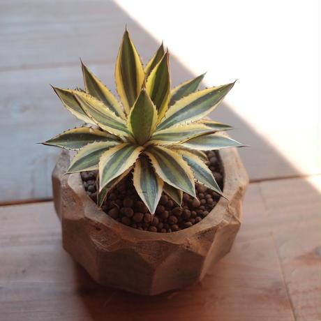 アガベ・五色万代  Agave lophantha variegata