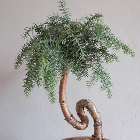 アロカリア  (シマナンヨウスギ)  Araucaria heterophylla