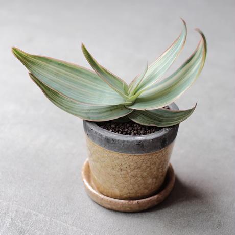 Aloe striata f. varieg アロエストリアータ錦