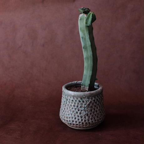 アリオカルプス接木  Ariocarpus