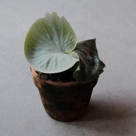 platycerium grande 森の王冠