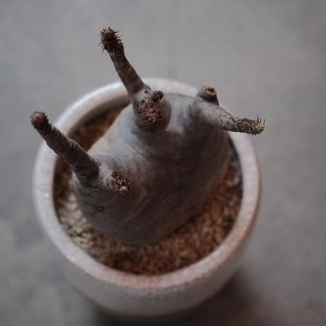 パキポディウム グラキリスPachypodium rosulatum gracilius