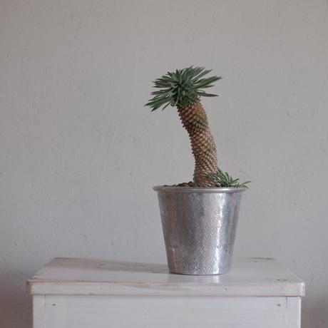 ユーフォルビア怪魔玉 Euphorbia KAIMAGYOKU