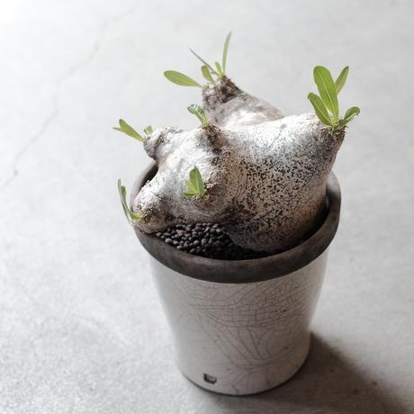 パキポディウム ブレビカリックス  Pachypodium densiflorum var. brevicalyx