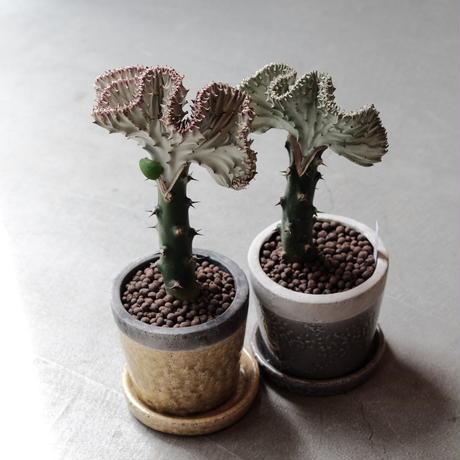 ユーフォルビア  ラクティア Euphorbia lactea  グレーポット