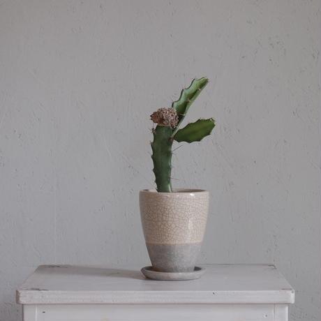 アリオカルプス 花牡丹 モンスト Ariocarpus furfuraceus monstrosa