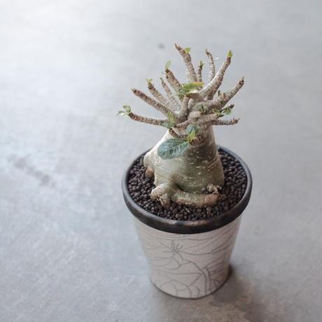 Adenium socotranum アデニウム ソコトラナム