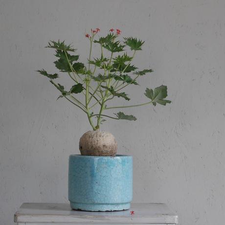 ヤトロファ・ベルランディエリ 錦珊瑚  Jatropha berlandieri