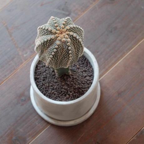 アストロフィツム 兜丸接木 Astrophytum   asterias