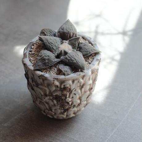 アリオカルプス 花牡丹