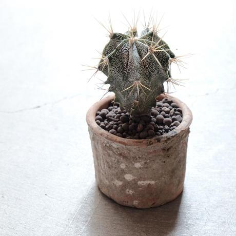 般若 Astrophytum ornatum