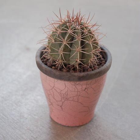 メロカクタス SP Melocactus SP