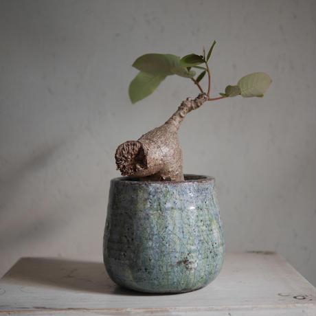 フィランサス・ミラビリス Phyllanthus mirabilis
