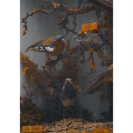 12羽の小鳥の剥製