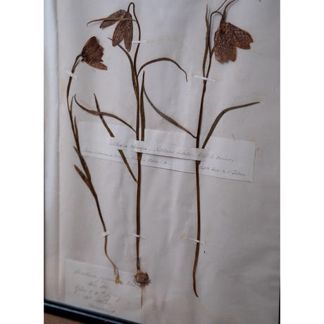 1850年植物標本・Fritiller