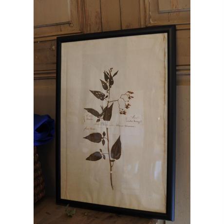 1851年France 植物標本・Morelle douce-amere