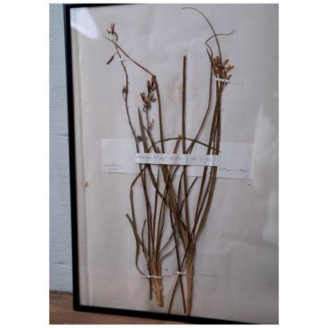 1869年植物標本・Anthericum liliago - Phalangère à fleurs de Lys