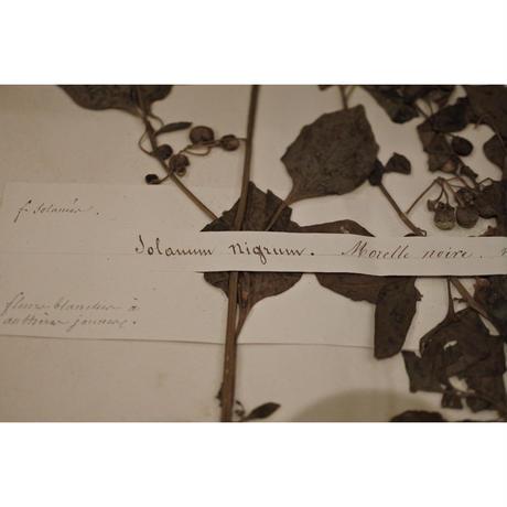 1850年の植物標本・Morelle noire