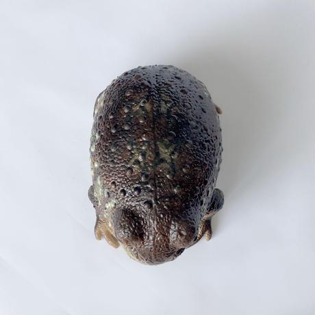 83SELECT /common rain frog   アメフクラガエル  [LANKA]